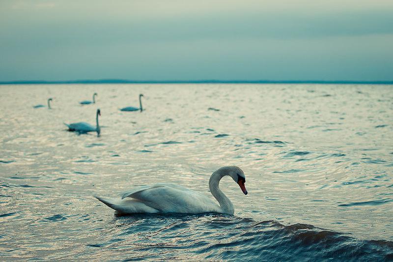 Лебеди и море